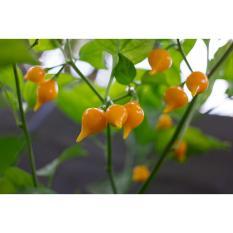 Amefurashi Benih / Bibit / Biji Cabe Yellow Chupetinho Pepper