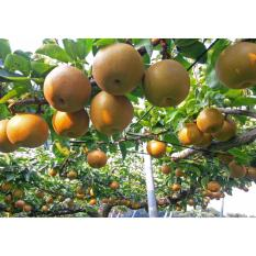 Amefurashi Benih Bibit Buah Pir Jepang Asian Pear Fruit