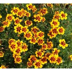 Amefurashi Benih / BIbit / Seed Bunga Marigold Dainty Marietta Mudah Tumbuh