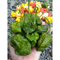 Amefurashi Benih / Bibit / Seed Cabe Big Mama Mustard Hot Pepper Super Spicy
