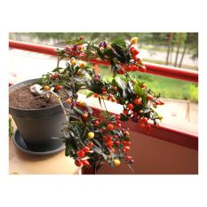 Amefurashi Benih / Bibit / Seed Cabe Pelangi Bolivian Rainbow Ornamental Pepper