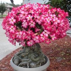 Amefurashi Bibit Benih Bunga Adenium Obesum Mix