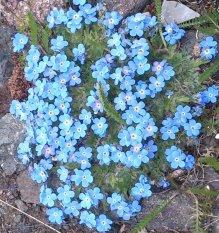Amefurashi Bibit Benih Bunga Forget Me Not Blue Flower