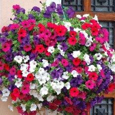 Amefurashi Bibit / Benih Bunga Petunia Flower Mix Cocok di Pot