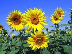 Amefurashi Bibit / Benih Bunga Sunflower Seed Bunga Matahari Kuning
