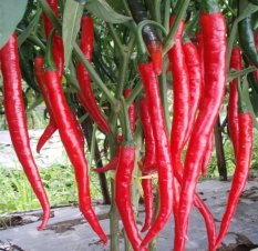 Amefurashi Bibit / Benih Cabe Merah Besar Hot Pepper Chili Seed Super Hot