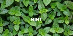 Amefurashi Bibit / Benih Herb Mint Spearmint Cocok Untuk Dijadikan Teh