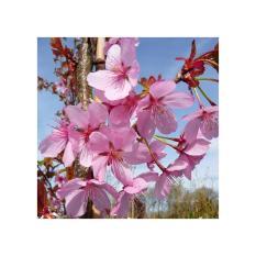 Amefurashi Bibit Benih Pohon Sakura Prunus Sargentii Tree