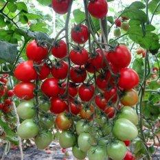 Amefurashi Bibit Benih Sayur Tomat Ceri Merah Manis Small Red Cherry Tomato Seed
