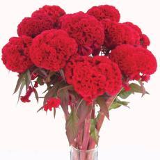 Amefurashi 50 Bibit / Benih / Seeds Bunga Celosia Argentea Plumosa Mix Colour