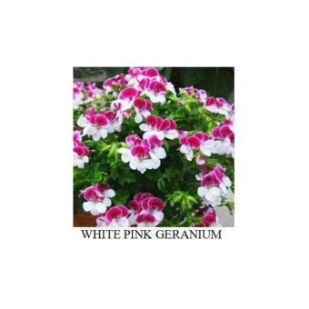 50 Benih Bibit Biji Bunga Pink White Geranium