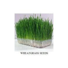 100 Benih Bibit Biji Wheat Grass (Rumput Gandum) Kucing Juga Suka Lhooo- Dan Menyehatkan