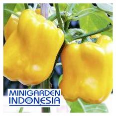 3 Benih Paprika golden star F1 bibit tanaman sayur sayuran cabe cabai kuning