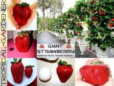 Benih Buah Giant Strawberry
