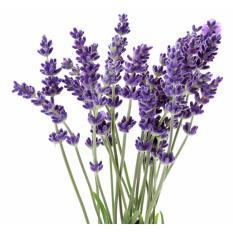 Harga Benih Bunga Lavender Isi 10 Benih Merk Benih Super