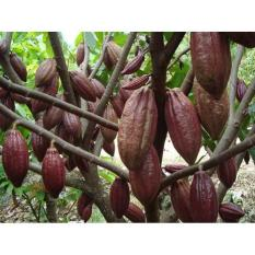 Benih Coklat / Kakao Seed Tanam Pohon Coklat Milikmu Sendiri