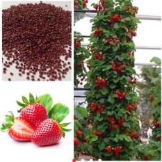 berisi 10 biji benih buah strawberry climbing