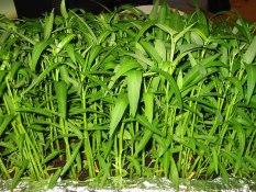 berisi 100 biji benih kangkung