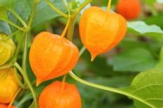 berisi 14 biji benih / bibit buah ciplukan golden jumbo import