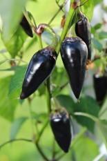 berisi 14 biji benih / bibit cabe / cabai hitam