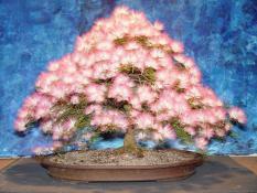 berisi 15 biji / benih / bibit bonsai bunga albizia