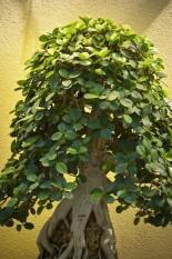 berisi 19 biji benih / bibit bonsai tanaman dolar