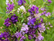 berisi 19 biji benih / bibit rumput alfalfa