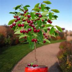 berisi 2 biji benih / bibit bonsai buah cherry import