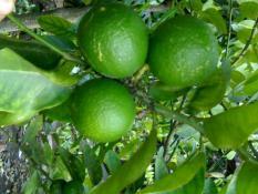 berisi 29 biji benih / bibit buah jeruk nipis jumbo