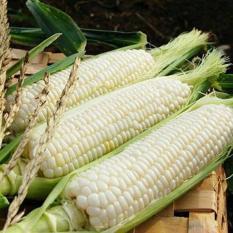 berisi 29 biji benih / bibit jagung pulut putih