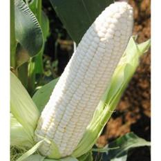 berisi 29 biji benih / bibit jagung putih paramita f1