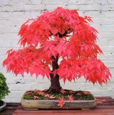 berisi 3 biji benih / bibit japanese red maple for bonsai