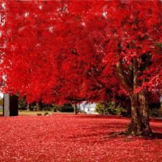berisi 3 biji benih / bibit japanese red maple tree