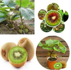 berisi 33 biji benih / bibit bonsai buah kiwi mix