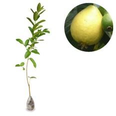 berisi 37 biji benih / bibit bonsai buah jambu biji alpukat