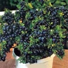 berisi 38 biji benih / bibit bonsai buah blueberry
