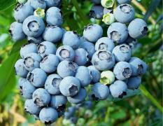 berisi 38 biji benih / bibit buah blueberry super