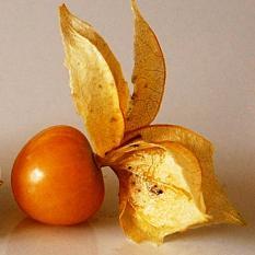 berisi 38 biji benih / bibit buah cherry kuning jawa