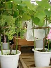 berisi 5 biji benih / bibit bonsai buah anggur hijau