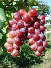 berisi 5 biji benih / bibit buah anggur merah import