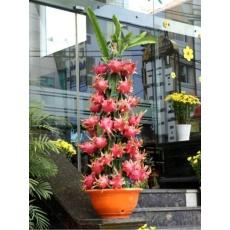 berisi 5 biji benih bonsai buah naga merah