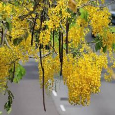 berisi 5 biji benih tanaman akasia emas