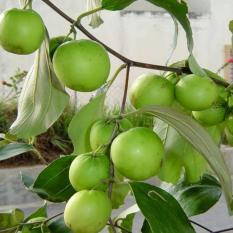 berisi 50 butir biji benih tanaman buah bidara apel