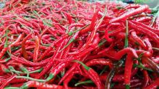 berisi 59 biji benih / bibit cabe / cabai merah keriting lokal