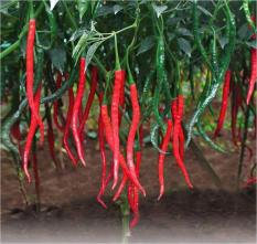 berisi 59 biji benih / bibit cabe / cabai merah keriting petiwi