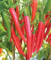 berisi 59 biji benih / bibit cabe / cabai merah super