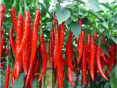 berisi 59 biji benih / bibit cabe / cabai merah unggul