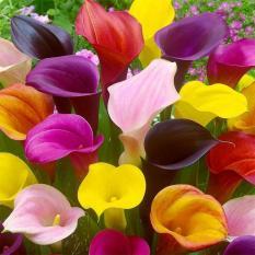 berisi 6 biji benih / bibit bunga calla lily mix