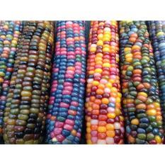 berisi 6 biji benih / bibit jagung warna rainbow / pelangi mix 5