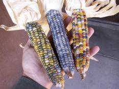 berisi 6 biji benih / bibit jagung warna rainbow / pelangi mix 9